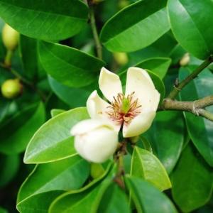 Michelia 'Coco' - plantsonkew.com