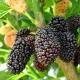 Mulberry tree, dwarf - Morus nigra dwarf - plantsonkew.com