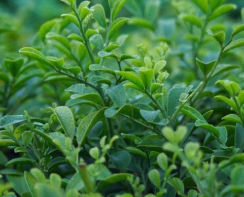 Murraya 'Hip High' - plantsonkew.com