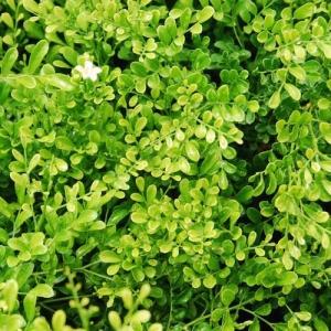 Murraya - 'Min-a-Min' dwarf  - plantsonkew.com