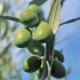 Olive tree 'Coratina' - Olea europaea - plantsonkew.com