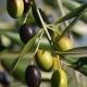 Olive tree 'Frantoio' - plantsonkew.com
