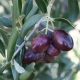 Olive tree 'Manzanillo' - Olea europaea - plantsonkew.com