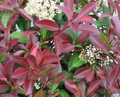 Photinia - 'Glabra Rubens' - plantsonkew.com