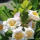 Radermachera 'Everlasting Beauty' - plantsonkew.com