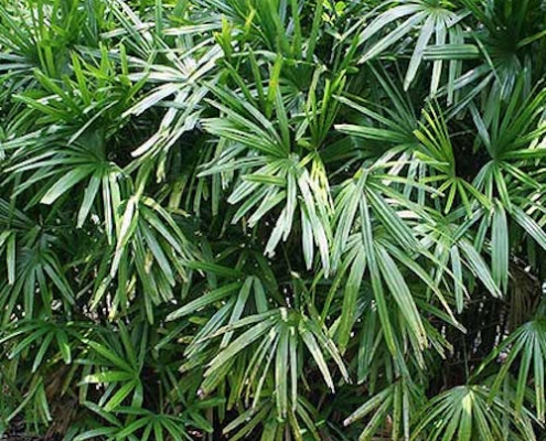 Rhapis (Lady Finger) Palm - plantsonkew.com