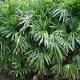 Rhapis (Lady Finger) Palm - plantsonkew.com