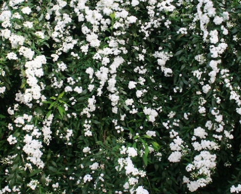 Spiraea 'May Bush' - double flowering - plantsonkew.com