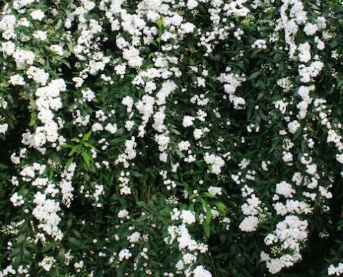 Spiraea 'May Bush' - double flowering - plantsonkew.com