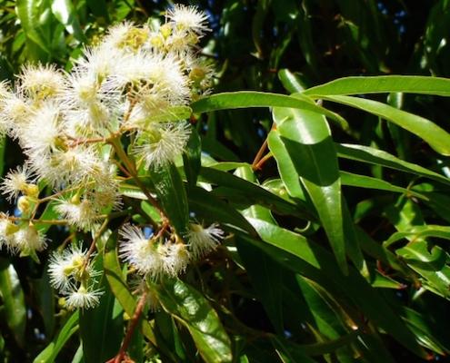 Waterhousea 'Weeping Lilly Pilly' plantsonkew.com
