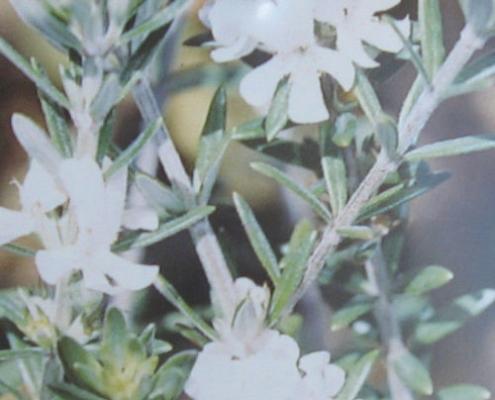 Westringia 'Bulli Coastal Creeper' - plantsonkew.com