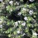 Westringia - 'Coast Rosemary' - plantsonkew.com