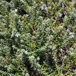 Westringia - 'Jervis Gem' - plantsonkew.com