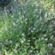 Westringia - 'Wyngabbie Gem' - plantsonkew.com