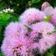 lilly pilly - 'Cascade' hedge in flower - plantsonkew.com