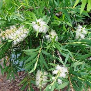 Callistemon 'Wilderness White' - plantsonkew.com