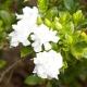 Gardenia-Radicans - plantsonkew.com